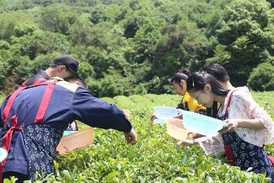 滨湖:采茶、识茶,太湖残友过节很特别